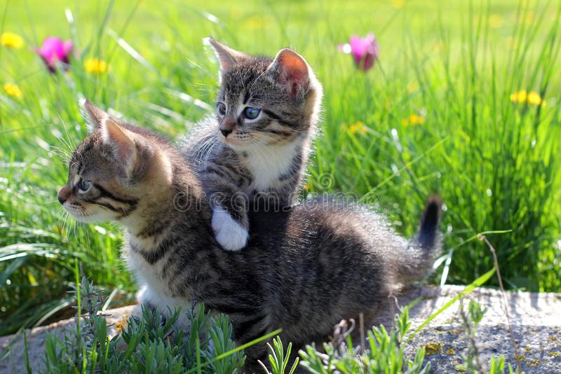 Two little kittens walking on the grass. royalty free stock images