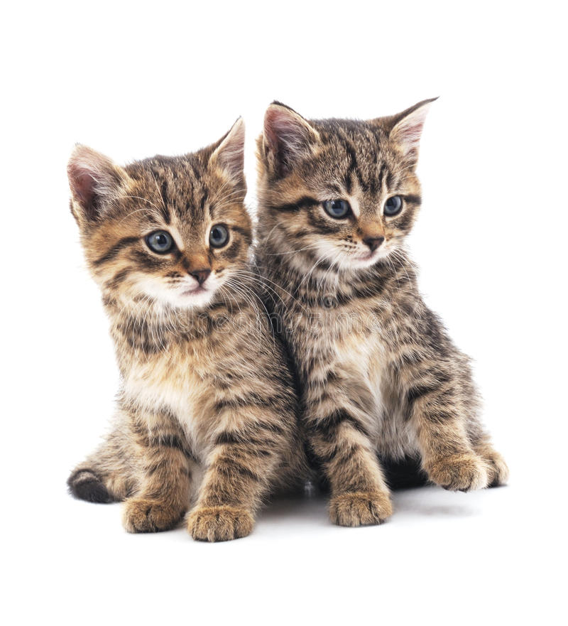 Two little kittens. Two little kittens on a white background royalty free stock photography