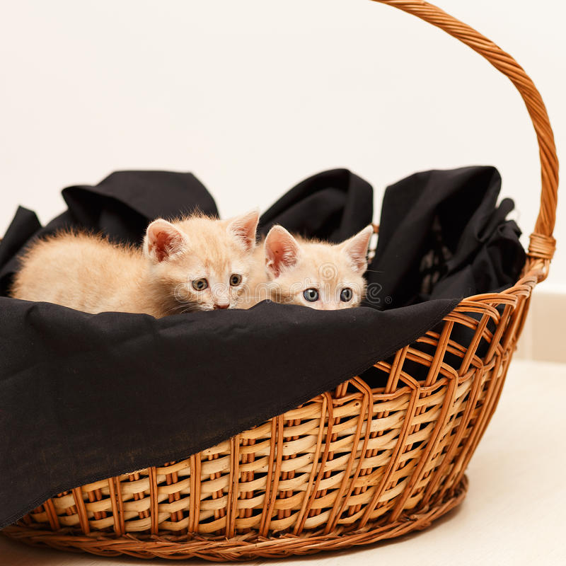 Two little lovely cat in wicker basket. Two little and lovely cat with blue and green eye stock photos