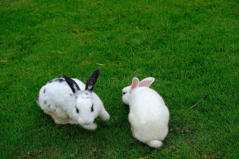 Two little lovely white rabits play together on green grass during in the afternoon royalty free stock photography
