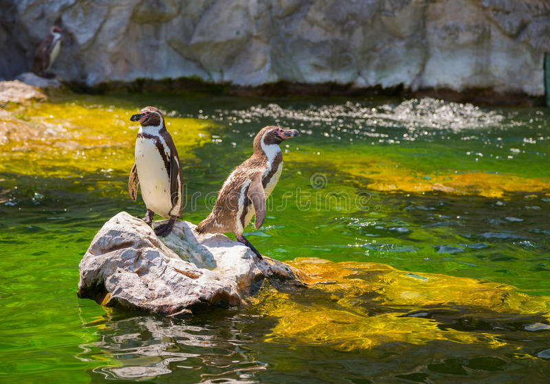 Two little penguins on a rock royalty free stock photo