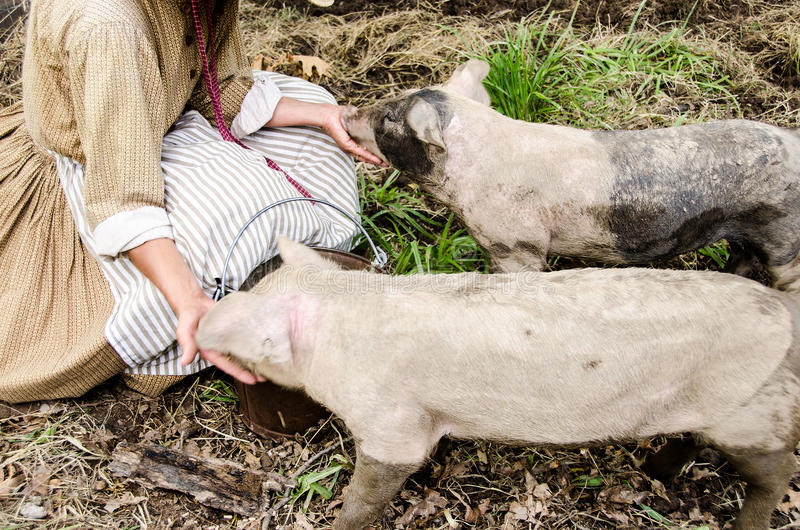 Two little Pigs eating being fed. royalty free stock photography