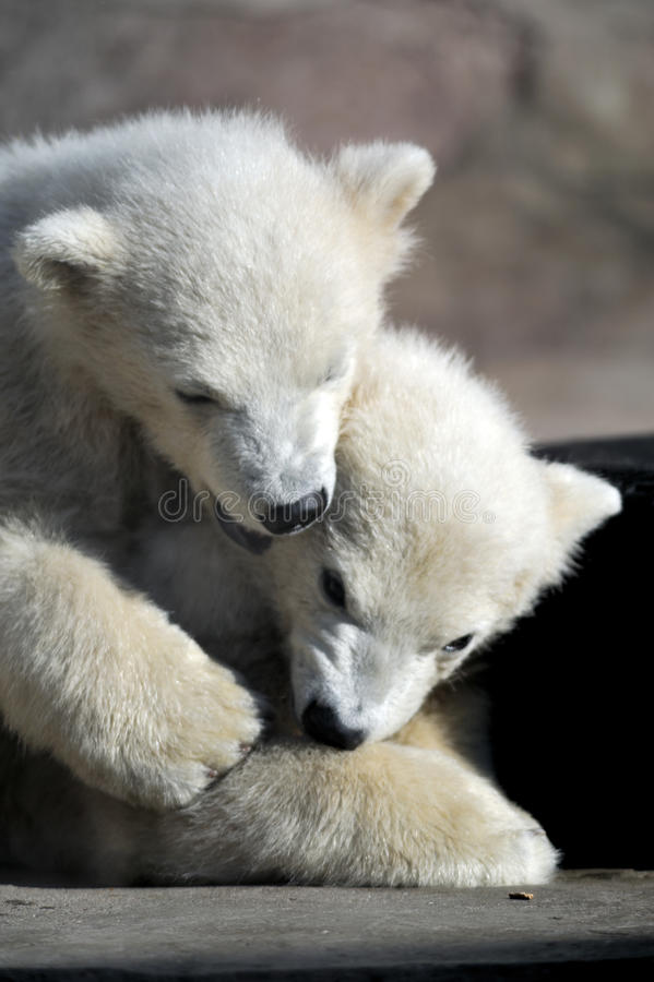 Free Two Little Polar Bear Cubs Playing Royalty Free Stock Image - 14074416
