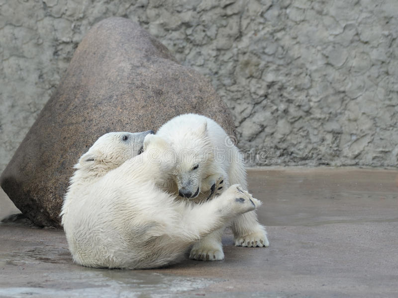 Two little polar bears fighting stock photos
