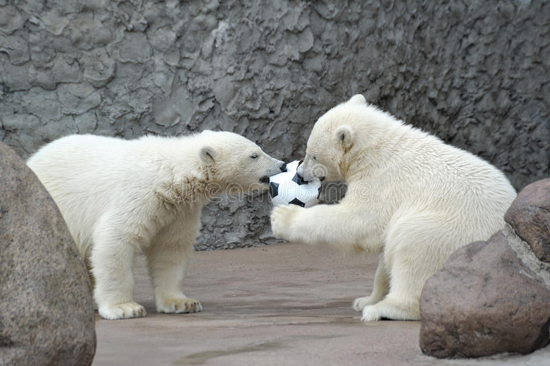 Download Two Little Polar Bears Play Soccer Stock Image - Image: 14721365