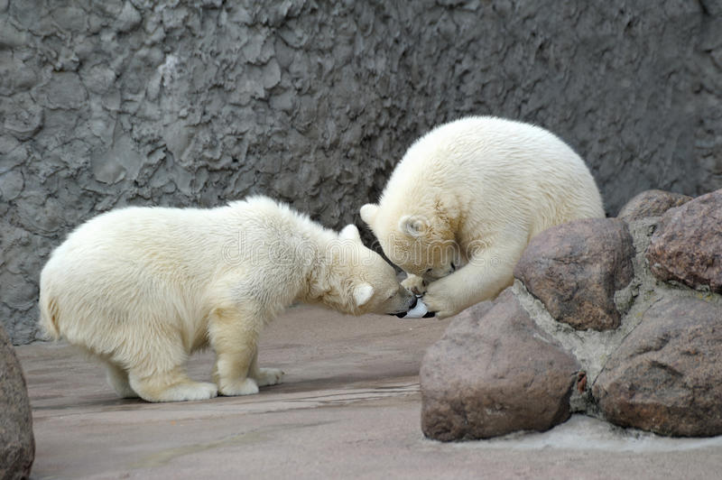 Two little polar bears play soccer