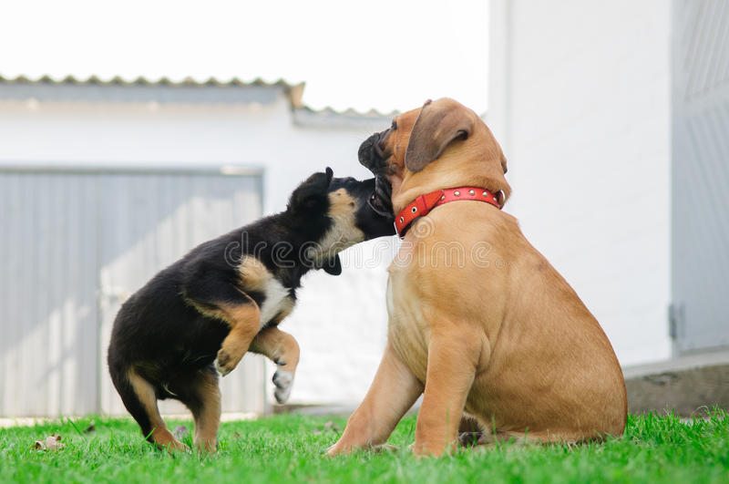 Download Two little puppies stock photo. Image of mouth, children - 26920612