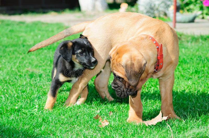 Download Two little puppies stock image. Image of mammal, game - 26920797