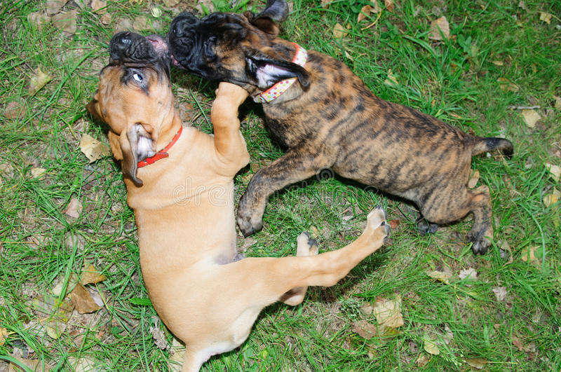 Download Two Little Puppies Bullmastiff Stock Photo - Image: 26927150