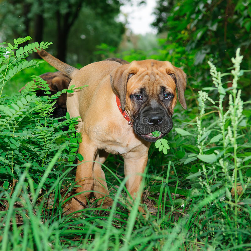 Download Two Little Puppies Bullmastiff Stock Photo - Image: 26927172
