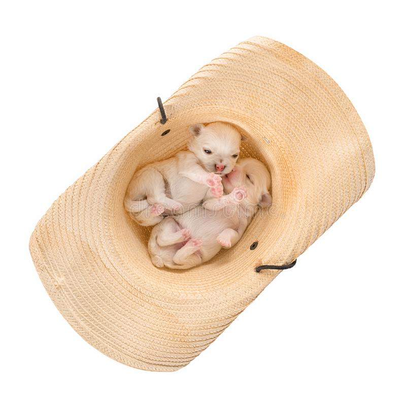 Two little puppies in a straw hat isolated with clipping path stock photos