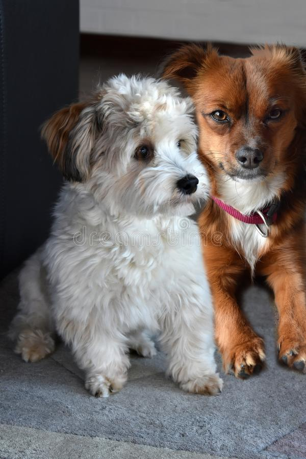 Two little puppy dog friends stock photography