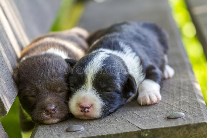 Two little puppy dogs sleeping on wooden bench stock image