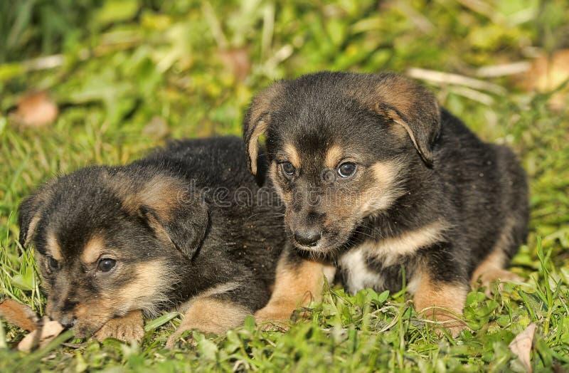 Two little puppy german shepherd dog. stock image