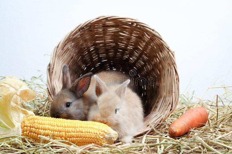 Two rabbits in a basket eating carrots. Two little rabbits hid in a wooden basket, eating corn like a gusto stock photography