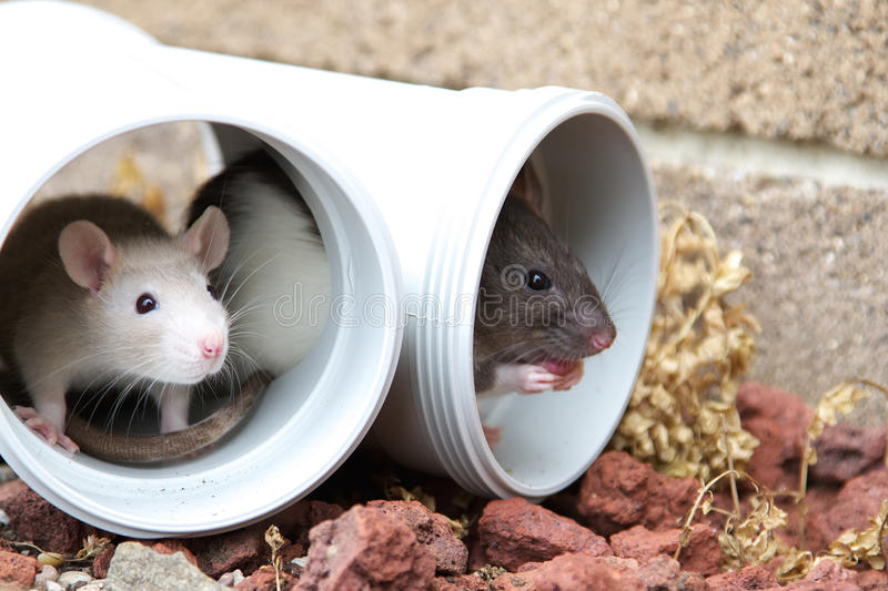 Two little rats. Two adorable rats hiding inside a plumbing pipe in the garden royalty free stock photos