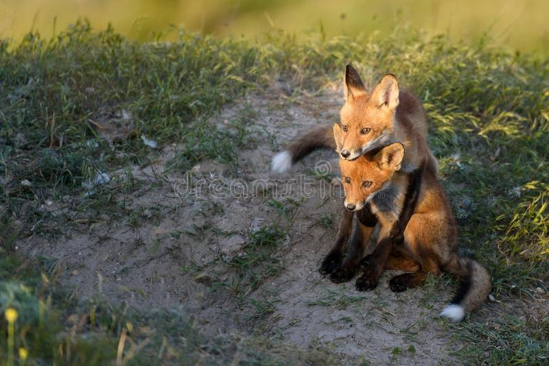 Two Little Red Fox playing near their burrows royalty free stock photo