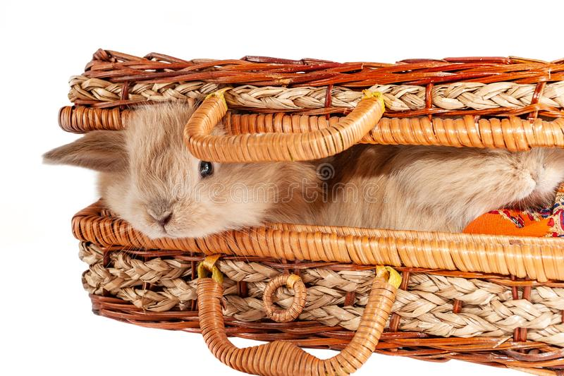 Two little red rabbits sits in a casket stock photography