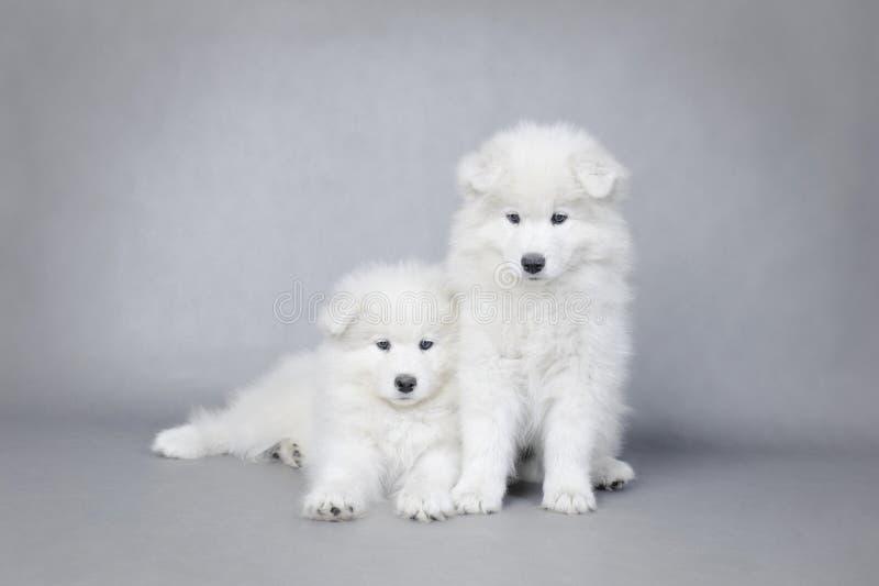 two little samoyed puppies portrait stock image image of