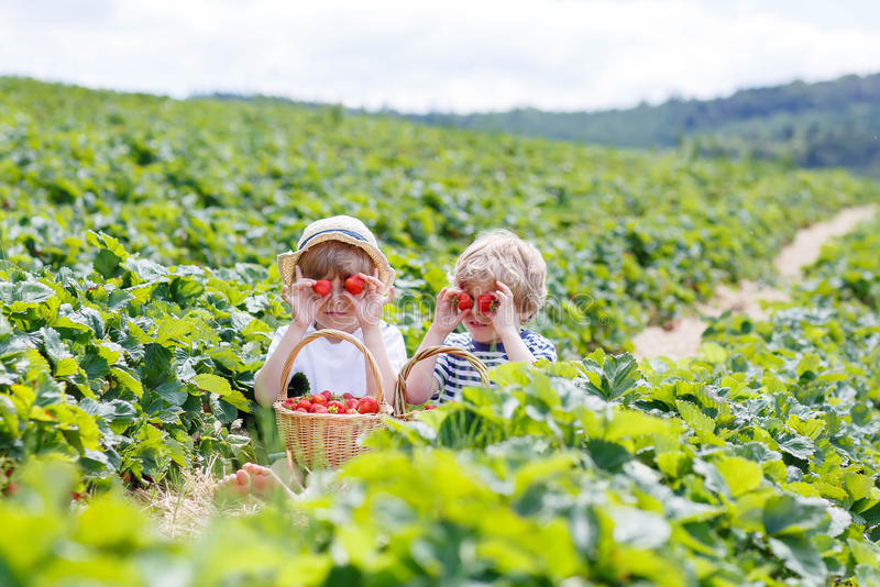 Two little sibling boys on strawberry farm in summer. Two little sibling kid boys having fun on strawberry farm in summer. Chidren eating healthy organic food royalty free stock images