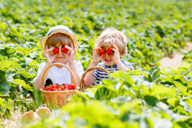 Two little sibling boys on strawberry farm in summer royalty free stock image