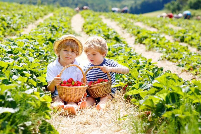 Two little sibling kids boys having fun on strawberry farm in summer. Children, cute twins eating healthy organic food stock image