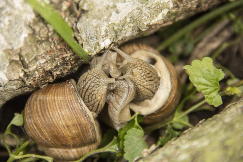Two little snails are on the nature.  stock photography