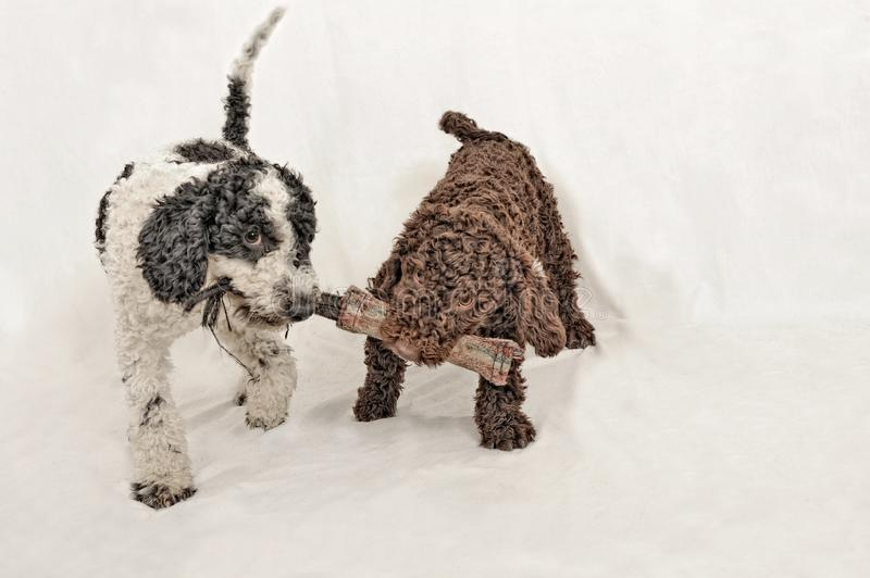 Two little spanish water dog puppies playing. stock photography