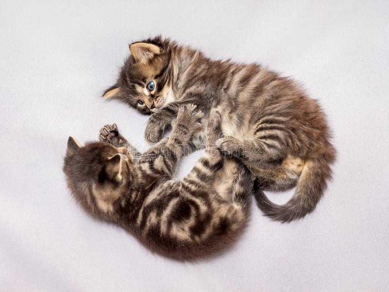 Two little striped kittens are played. Funny games and fun_ royalty free stock image