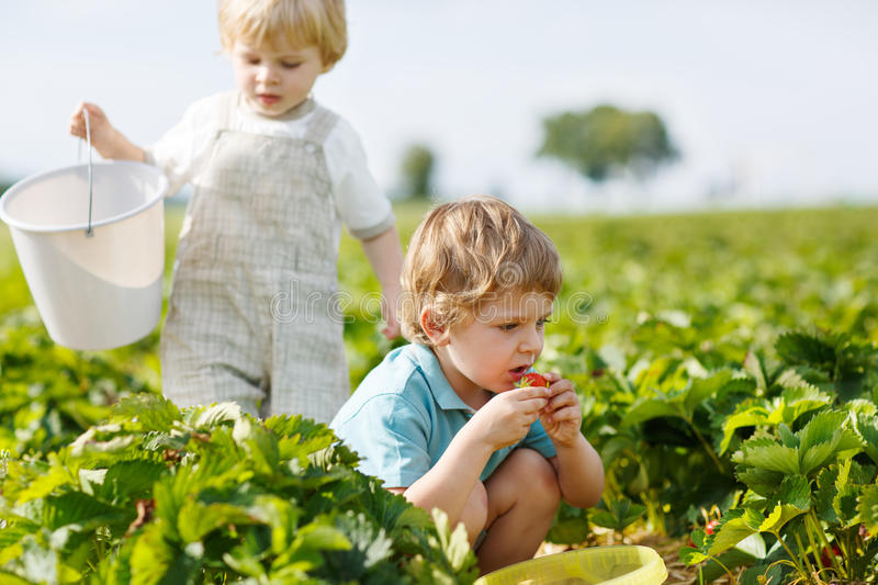Two little twins boys on pick a berry farm picking strawberries. In bucket stock photos