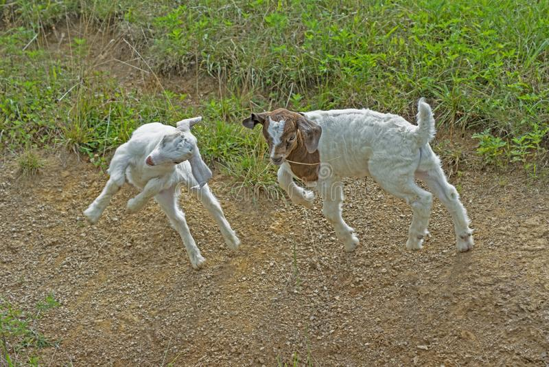 Two baby white goats are playing together. royalty free stock photo