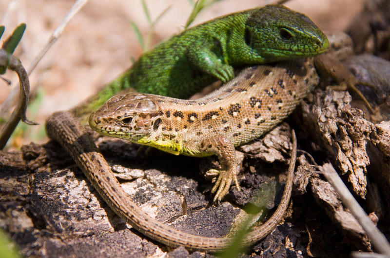 Two lizards sunning on rock stock photos