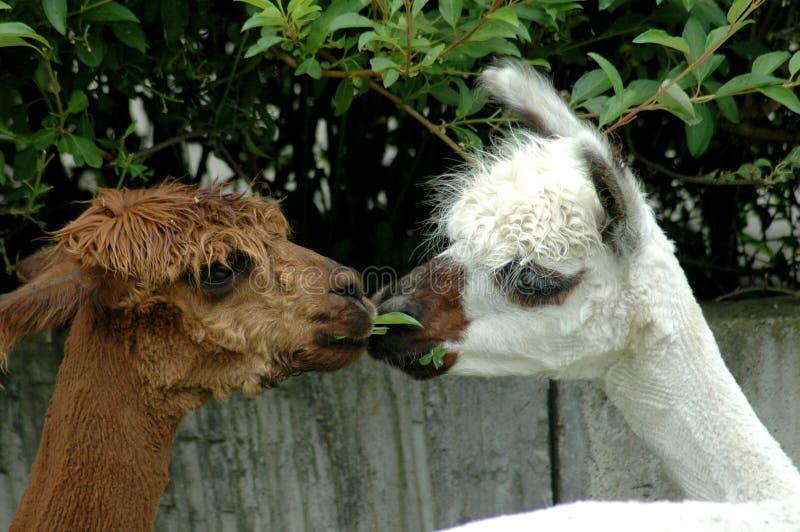 Download Two llamas stock image. Image of llamas, head, kiss, shear - 161345