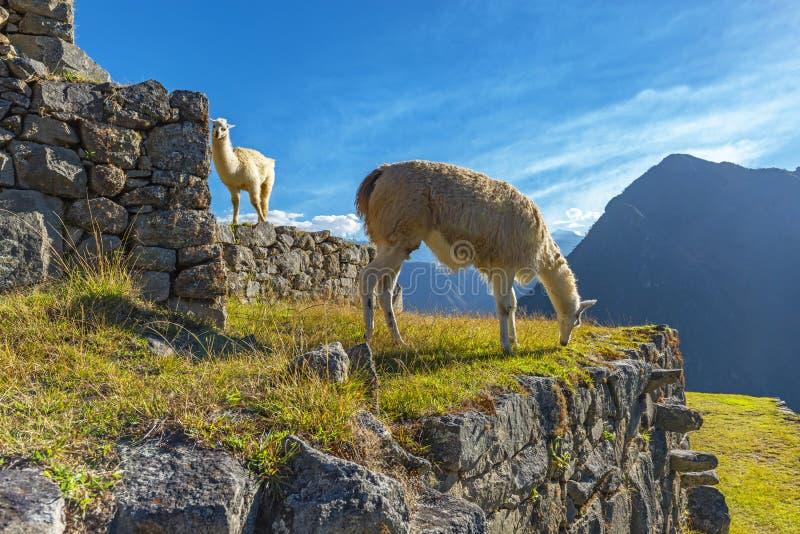 Two llamas in Machu Picchu, Cusco, Peru royalty free stock photos