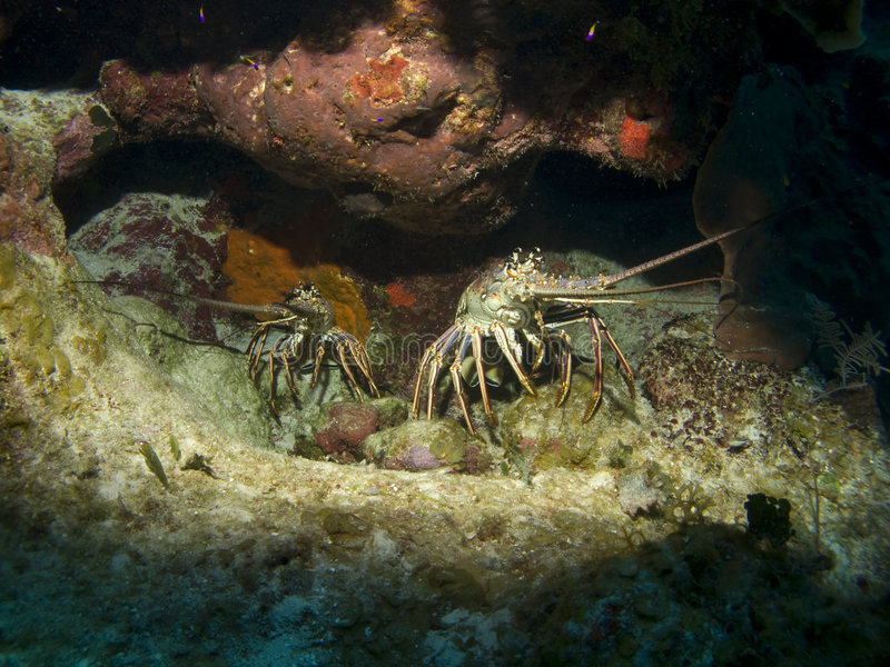 Two Lobsters sitting in a hole on the Reef. Two Lobsters sitting in a hole on a Cayman Island Reef stock photos