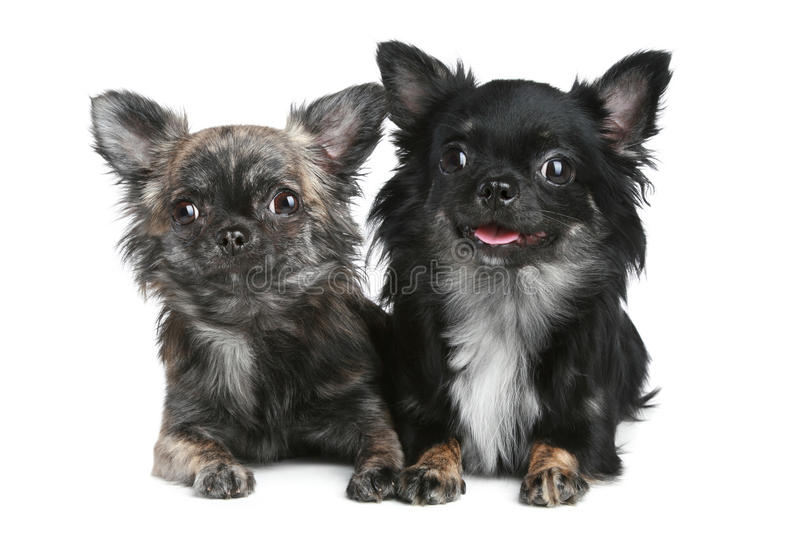 Two long-haired chihuahua dog on white background. Two long-haired chihuahua dog lying on a white background royalty free stock image