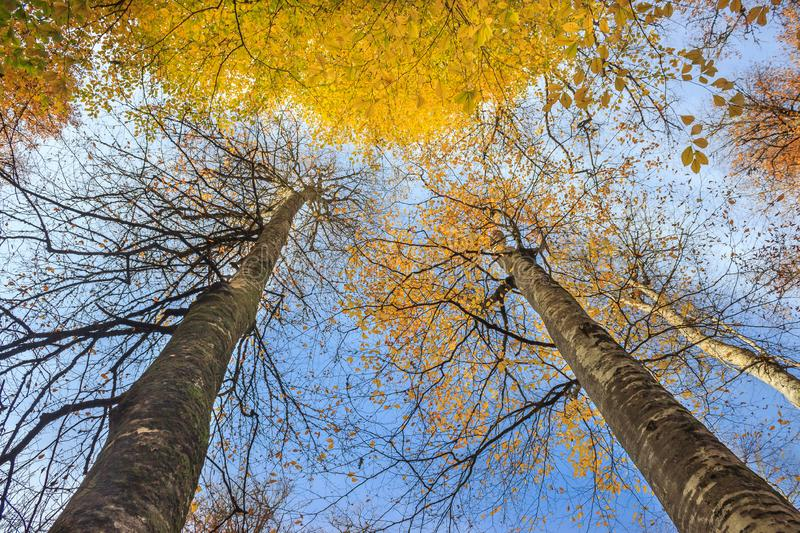 Two long trees with yellowed leaves in forest at autumn landscape. Blue sky and look up view royalty free stock photos