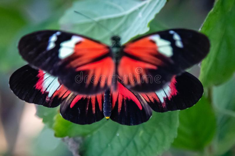 Two longwing heliconian butterflies with wide open wings. Two longwing Heliconius butterflies with wide open wings perching on green leaf with one hovering on stock photo