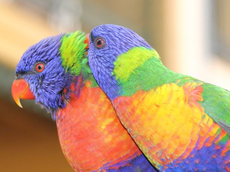 Rainbow Lorikeet pair royalty free stock image