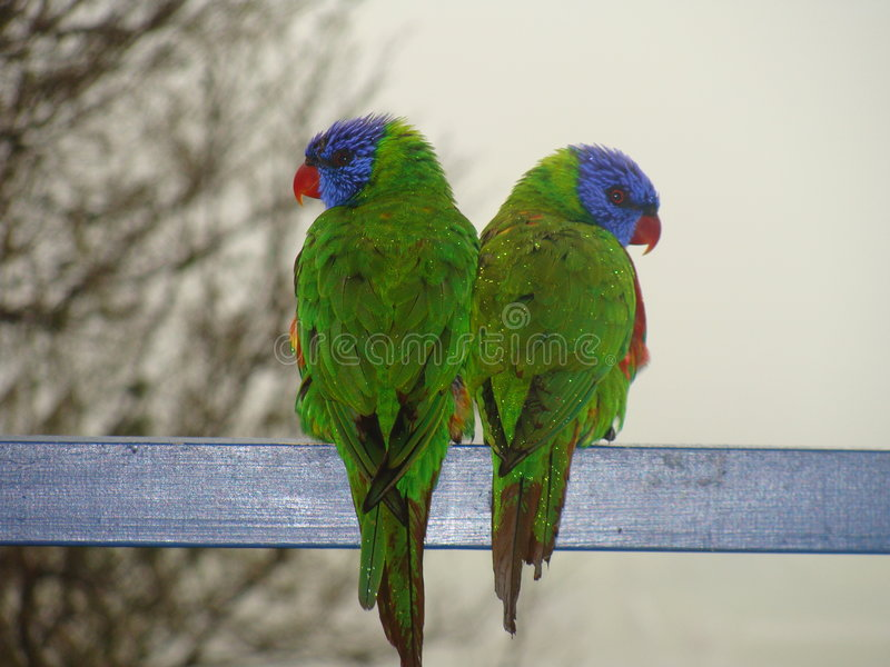 Download Two Lorrikeets Looking In Different Directions Royalty Free Stock Photography - Image: 7671697