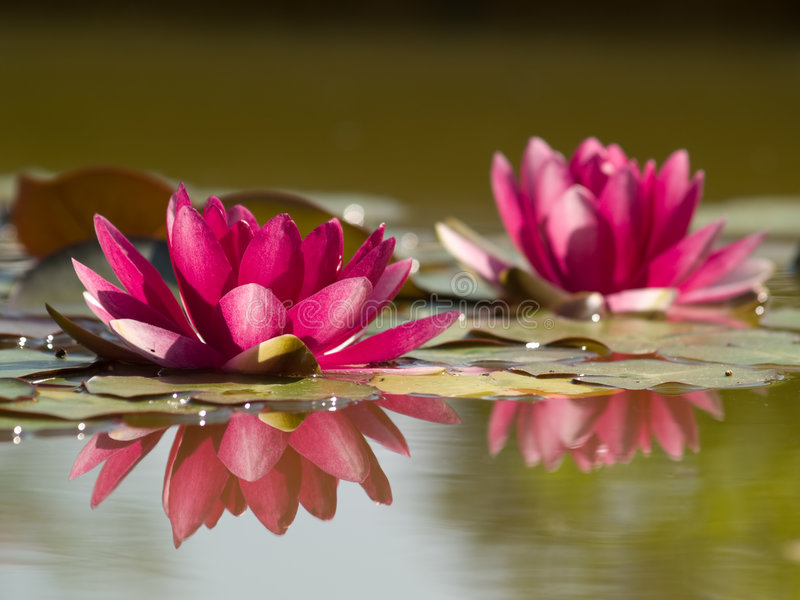 Two Lotus Flowers in Pond with Reflection stock images