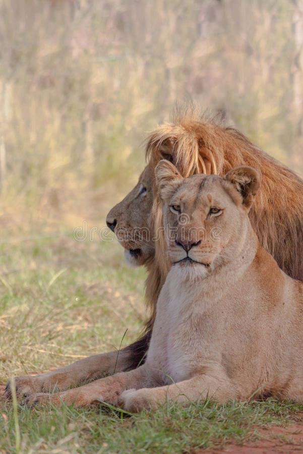 Two lounging lions. A male and female lion lounging between the grass at Schotia Safaris Private Game Reserve stock photos