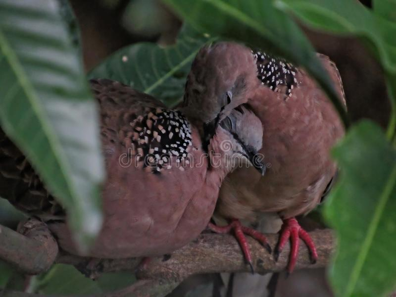 Two Love Birds. Two loving Spotted Dove perched on a mango tree branch