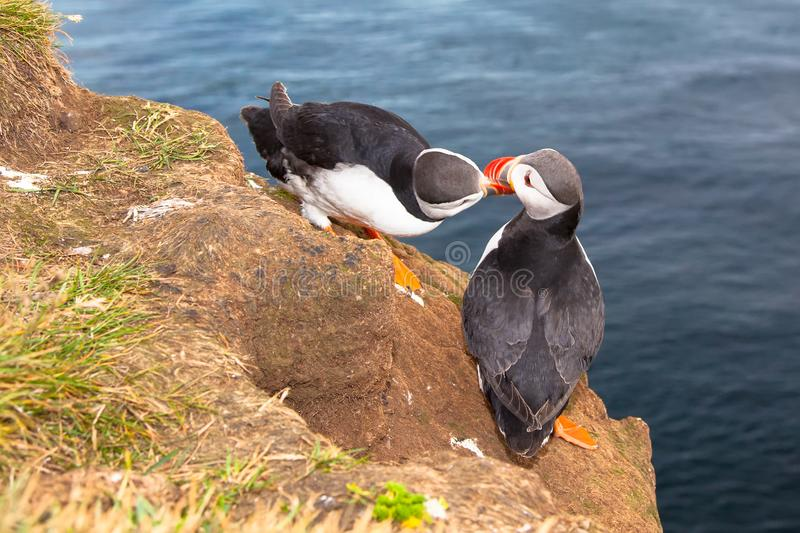 Two love puffin birds kissing against sea in Iceland. Two love puffin birds kissing on cliff against sea in Iceland royalty free stock photos