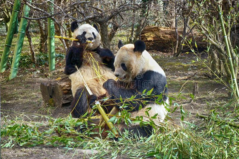 Two lovely giant panda bear eating bamboo. Two lovely giant panda bear eating bamboo royalty free stock photo