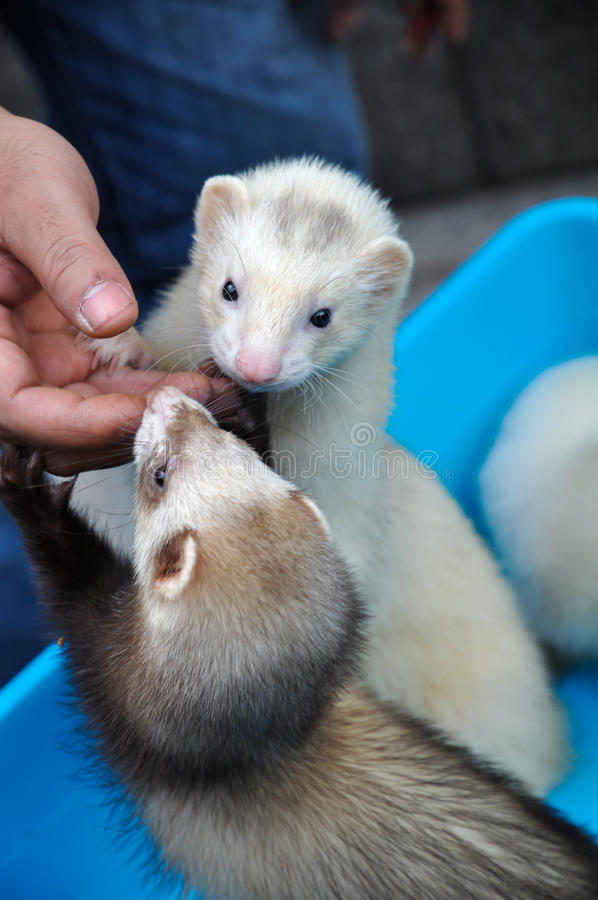Two Lovely Martens. Two lovely and small animal martens which one is white and another is black. They are the pets of people