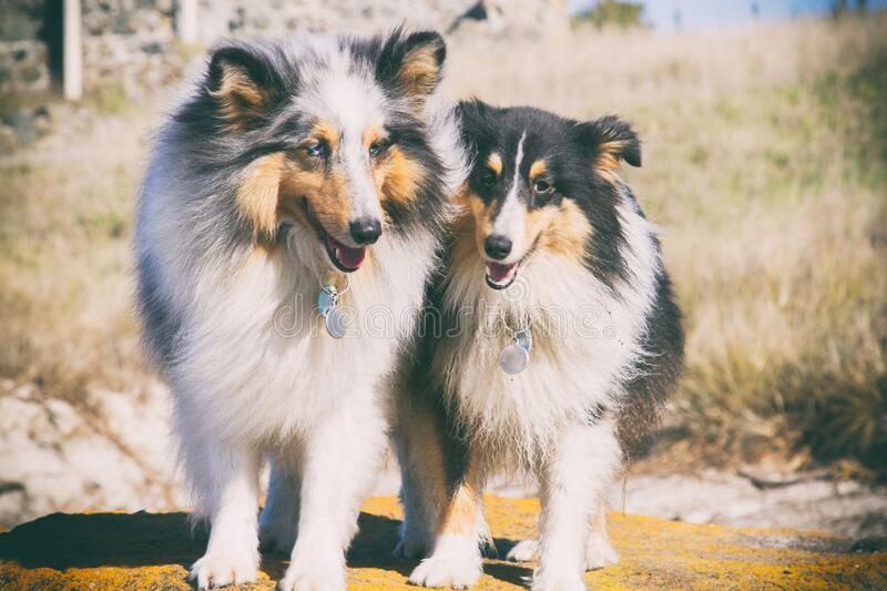 Two lovely Sheltie dogs standing in open field stock photos
