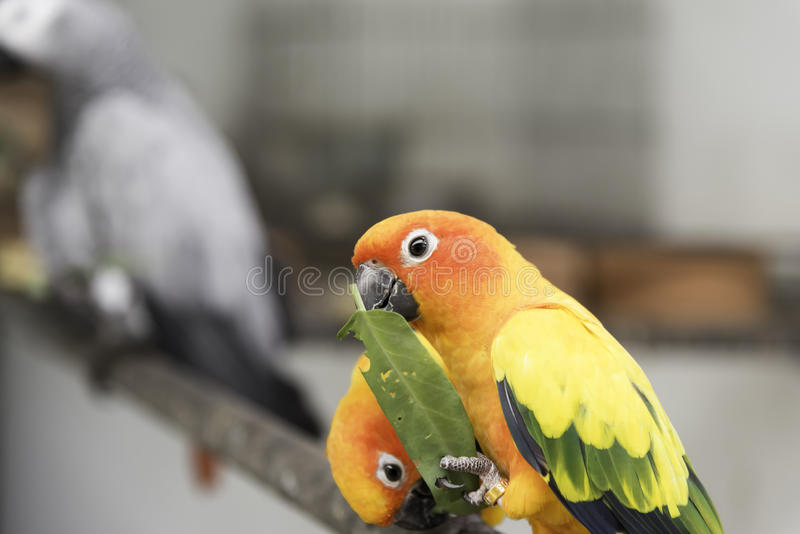 Two lovely sun conure parrots bird on the branch eating their food closeup royalty free stock photography