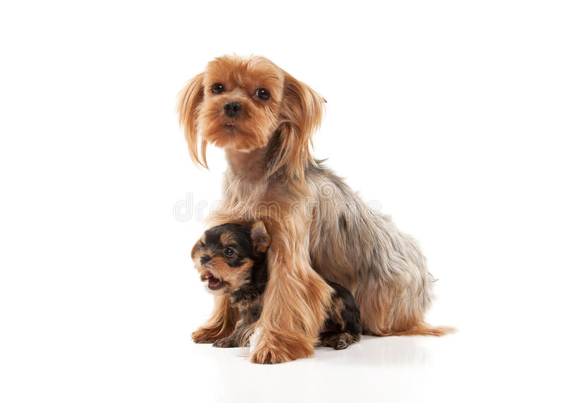 Two lovely young puppies of the Yorkshire Terrier on white background stock images