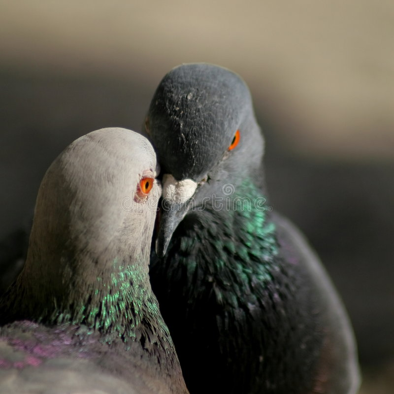 Two lovers. Two pigeon on plaza San Peters on Rome stock photos